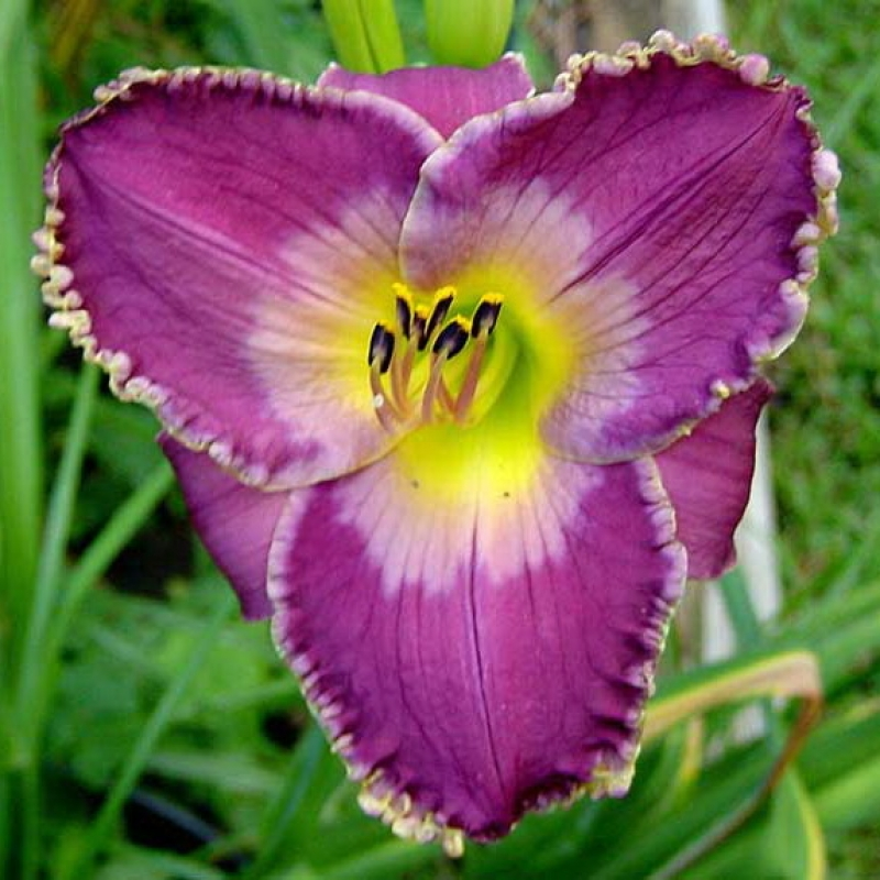 Liliowiec Arabian Medjik