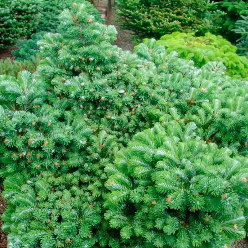tannenbaum hayn katalog sorten tannenbaum hayn pflanzen. Black Bedroom Furniture Sets. Home Design Ideas