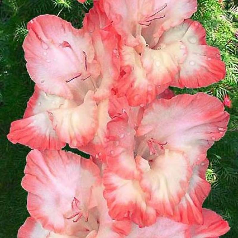 Гладиолусы Розовый Мираж