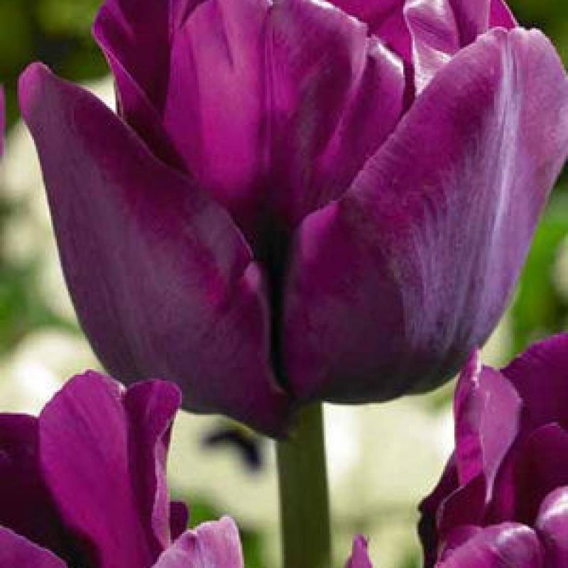 Тюльпаны Сайгон