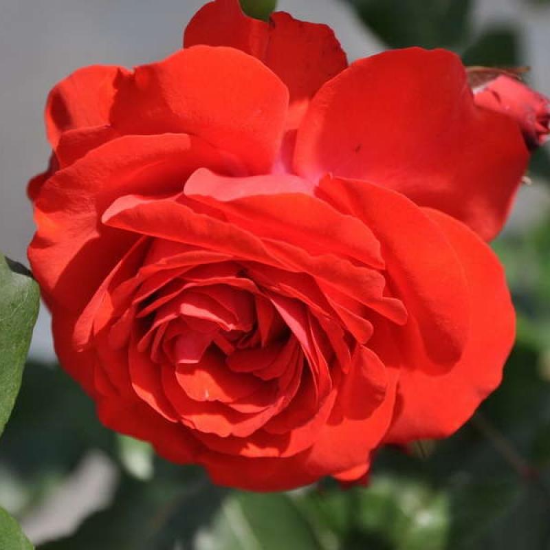 Розы Лилиана