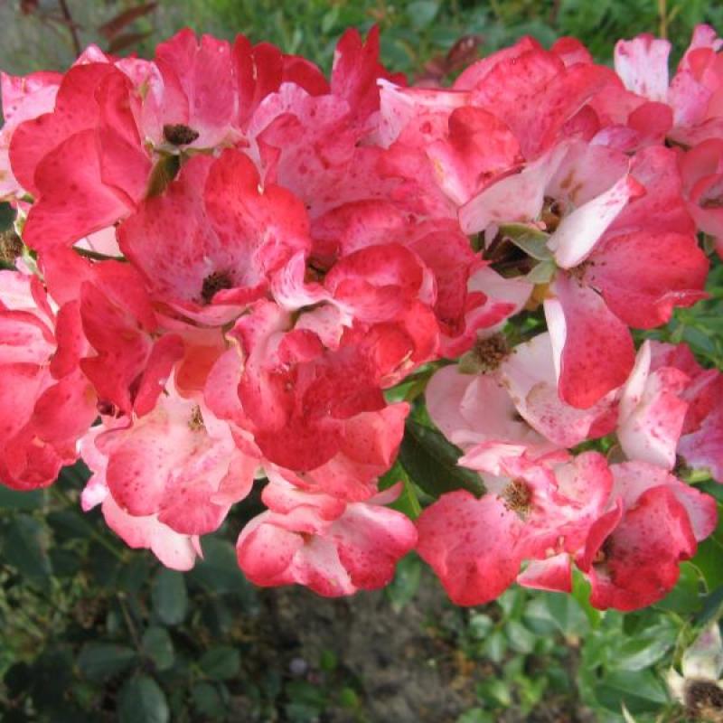 Розы Алфабиа