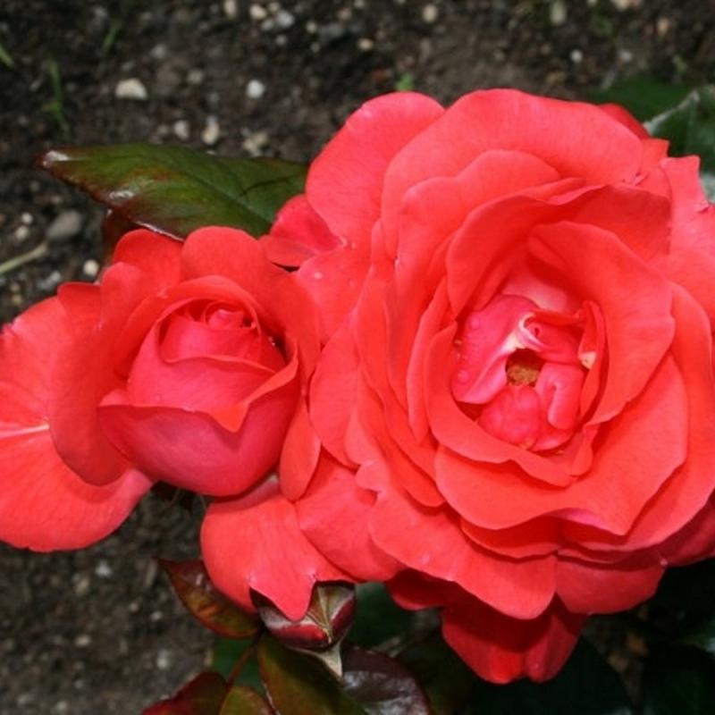 Розы Пикколо