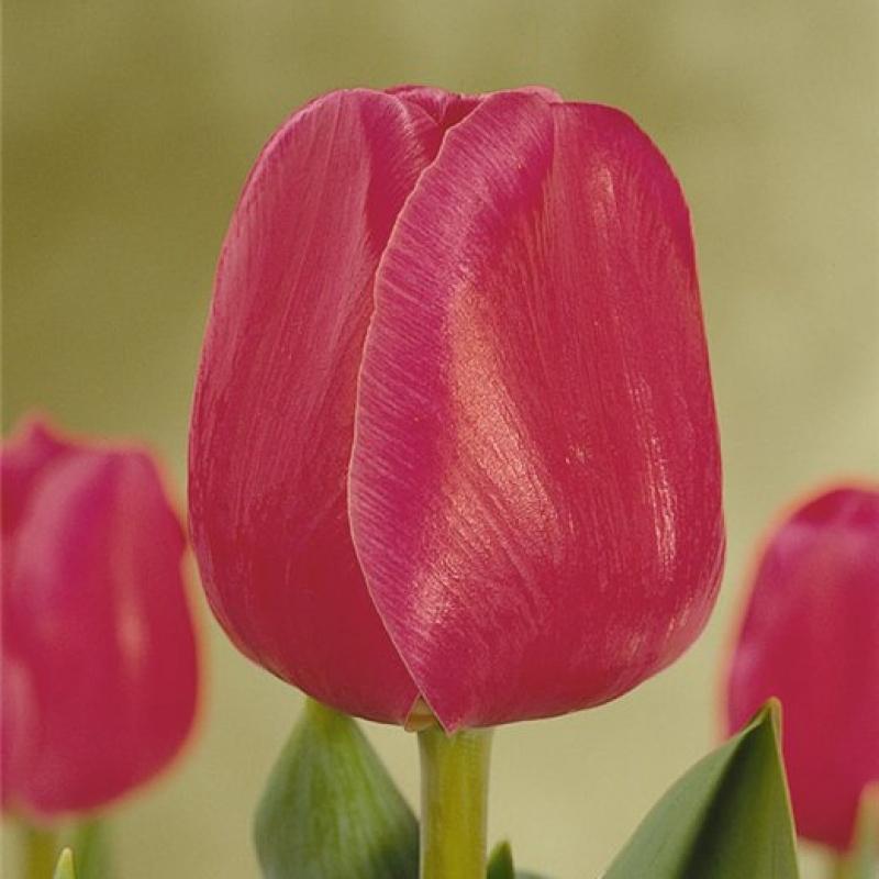 Тюльпаны Карола