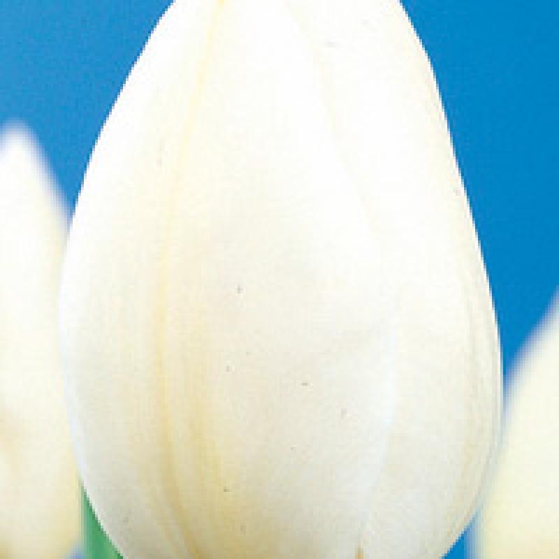 Тюльпаны Сноустар