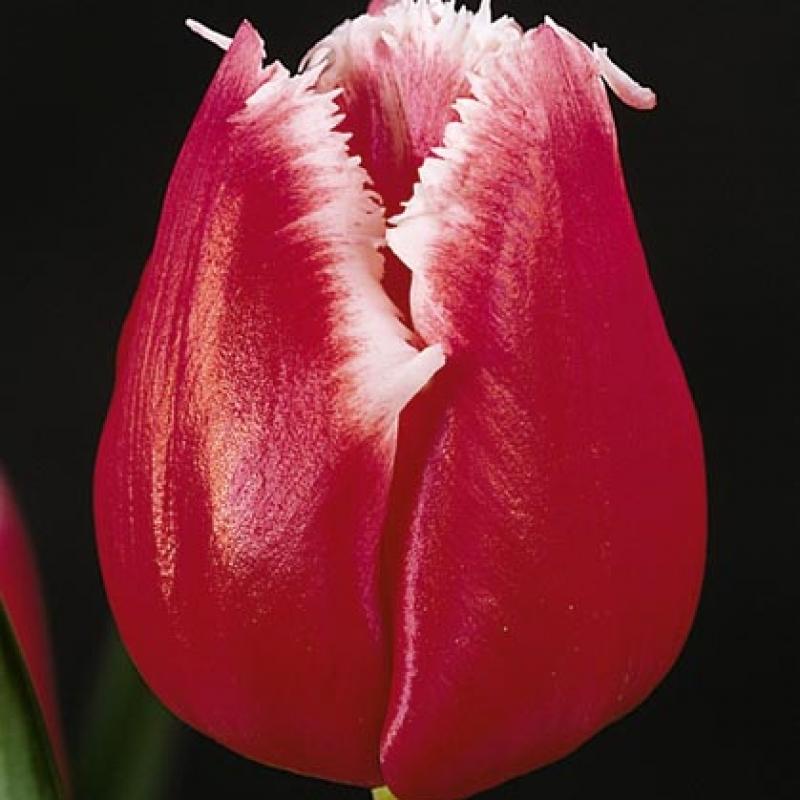 Тюльпаны Старфайтер