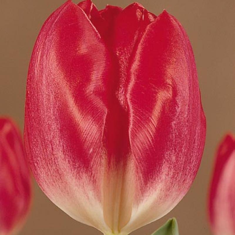 Тюльпаны Истерн Перл