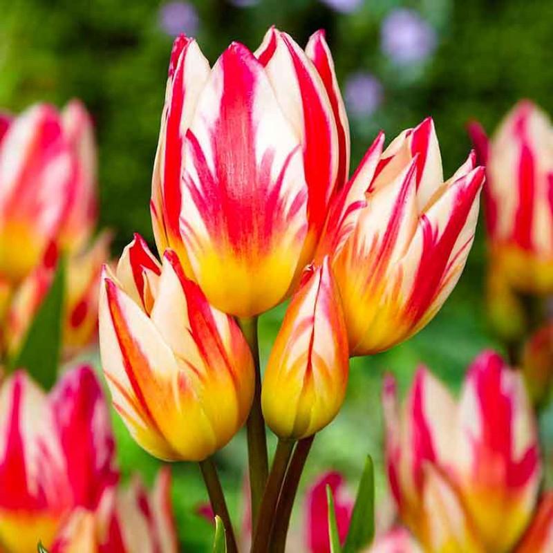 Тюльпаны Триколет