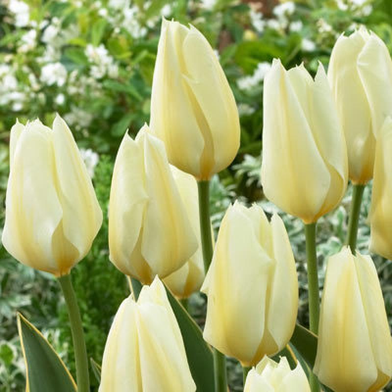 Тюльпаны Пуриссима Дизайн