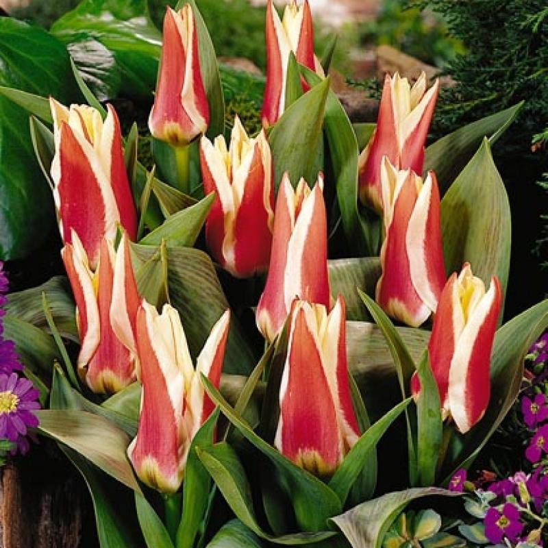 Тюльпаны Перфекционист