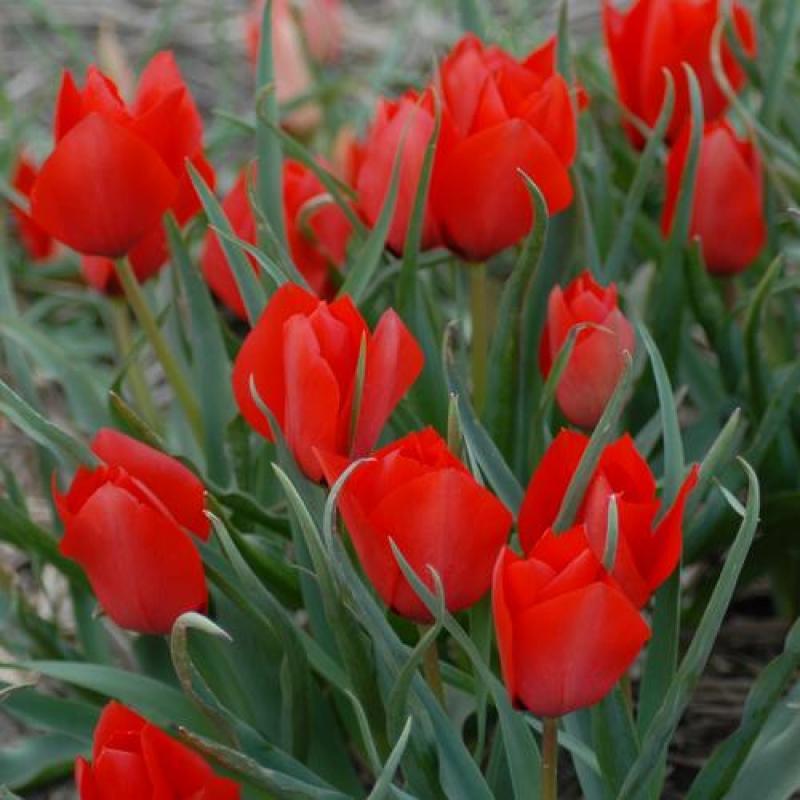 Тюльпаны Хантер