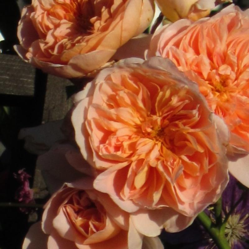 Розы Теа Клиппер