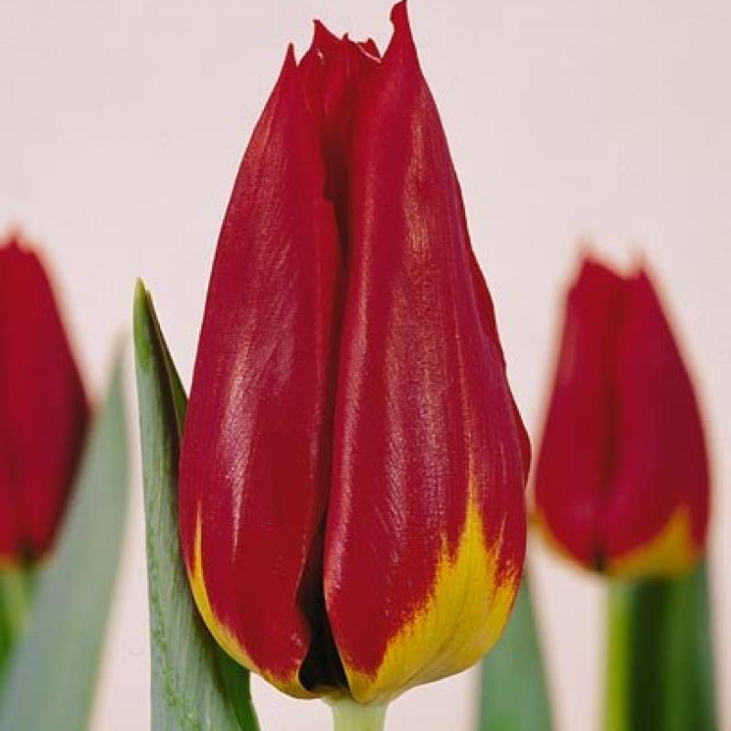 Тюльпаны Кобис Спирит
