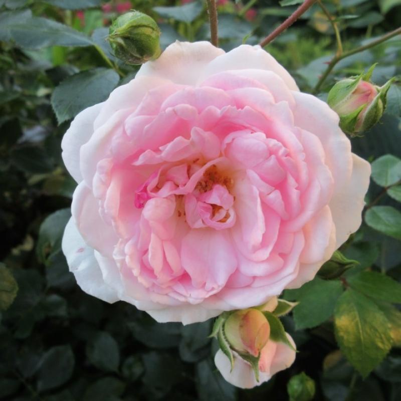 Розы Лавли Меилланд