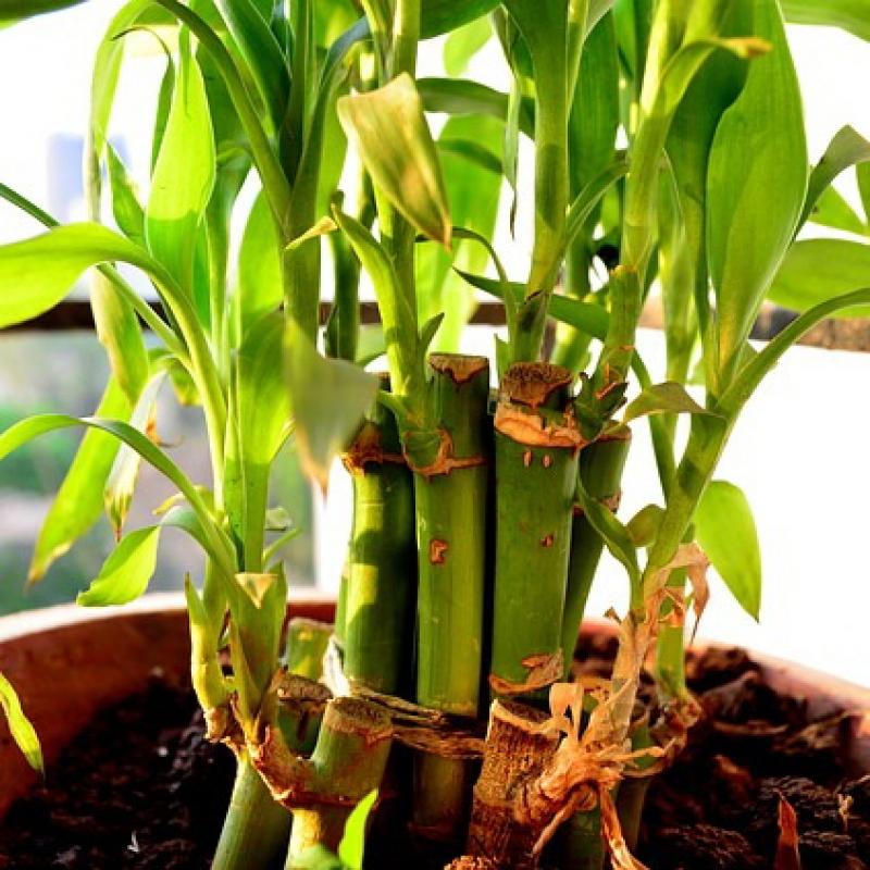 Комнатные растения Бамбук