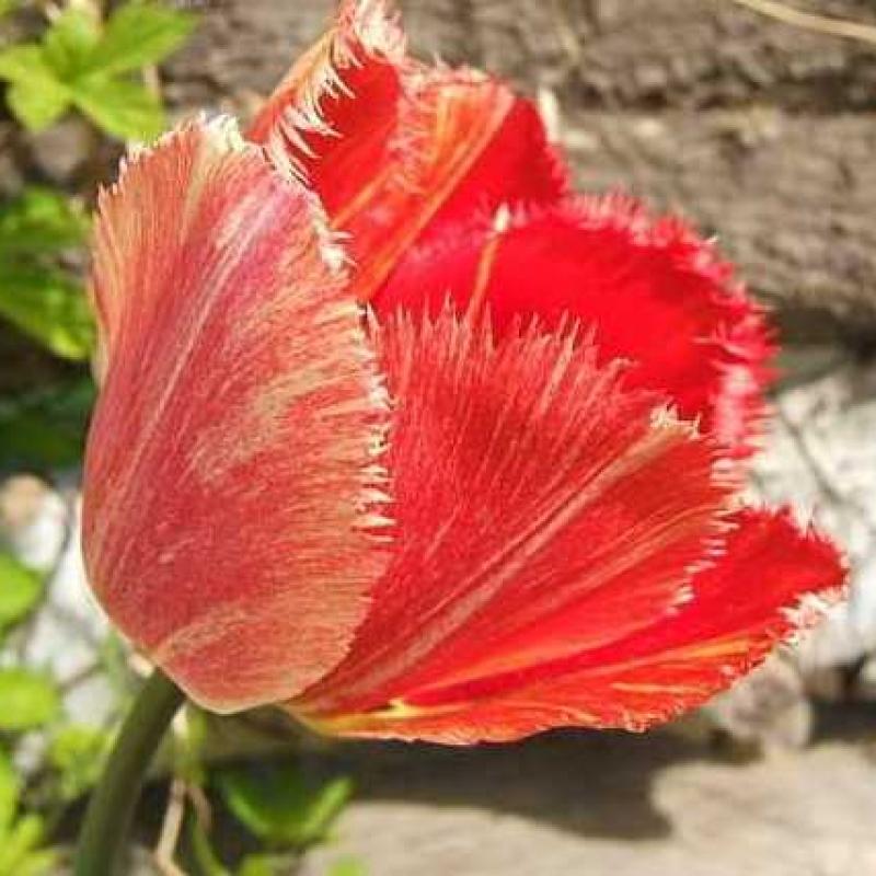 Тюльпаны Фрингед Рапсоди