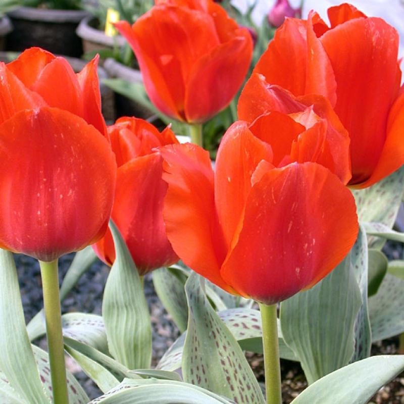 Тюльпаны Каса Гранде