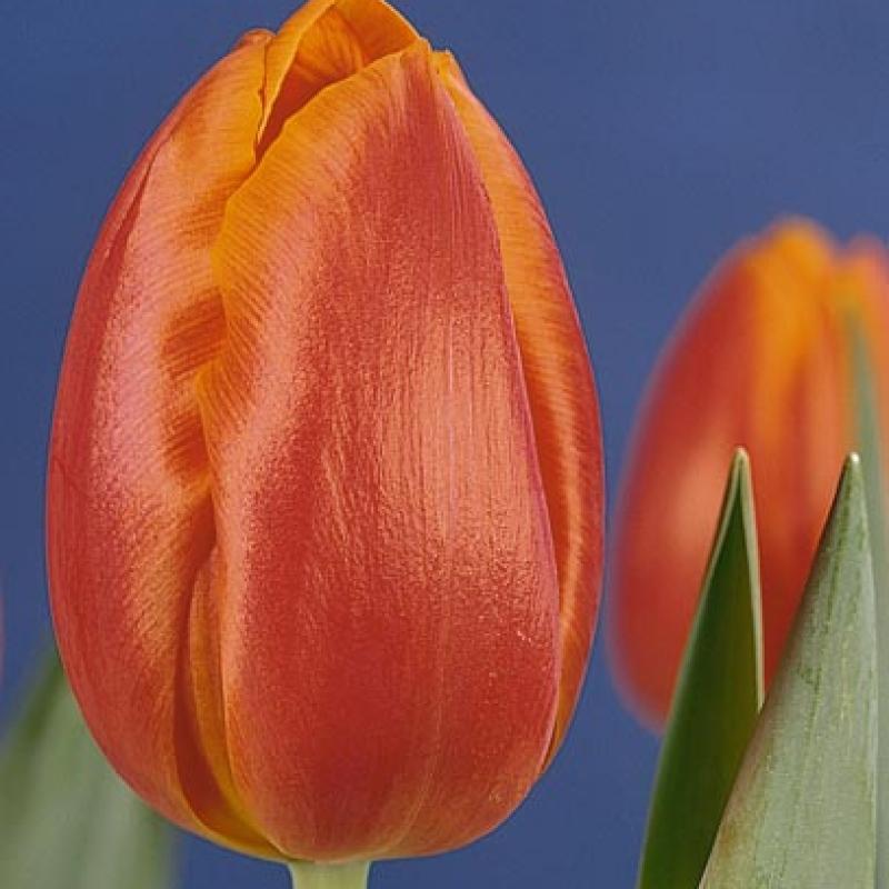 Тюльпаны Фузор