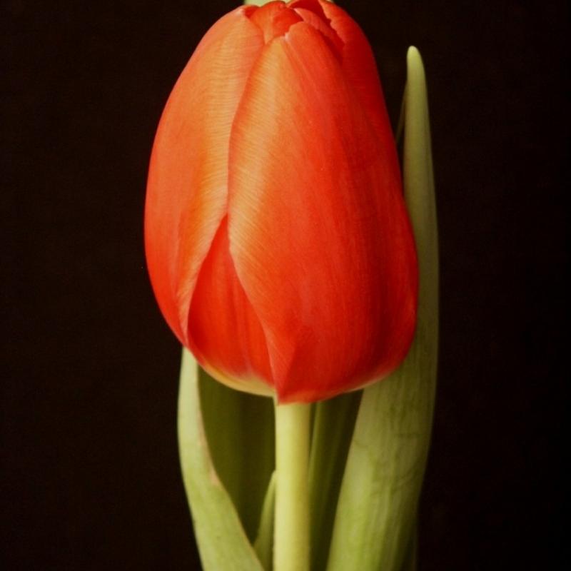 Тюльпаны Тетри Рози