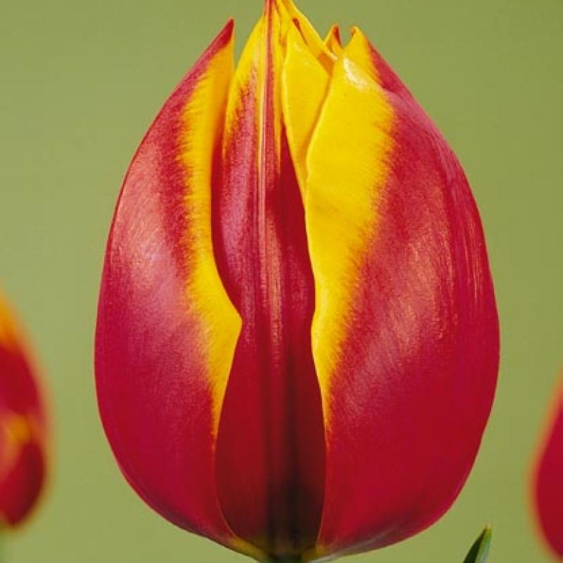 Тюльпаны Зеландия