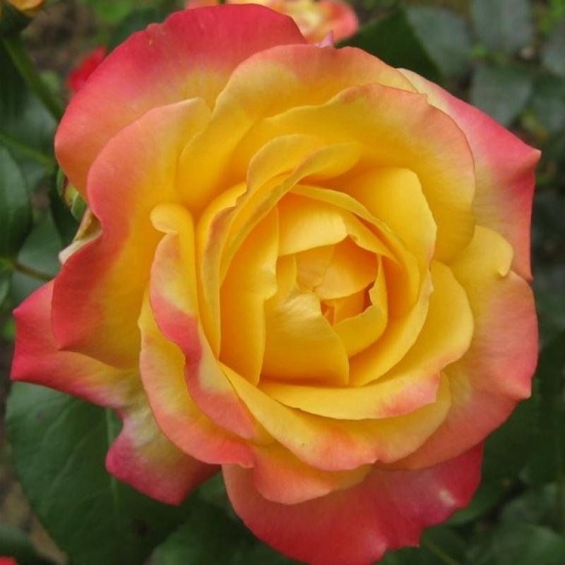 Розы Функур