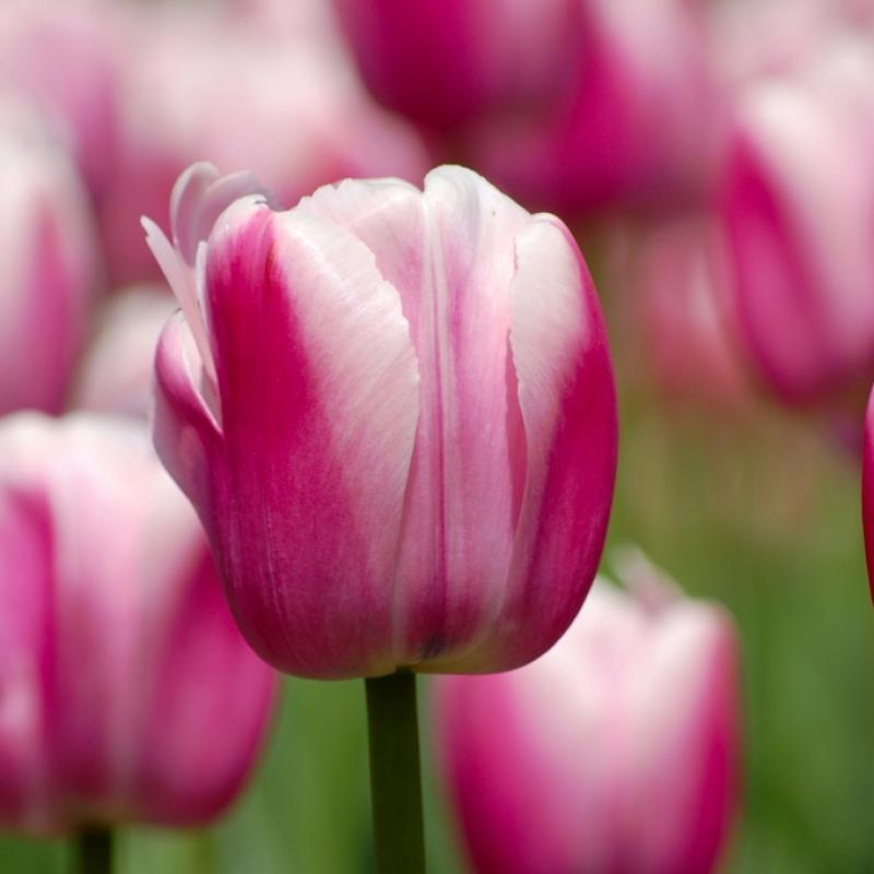 Тюльпаны Фестиваль