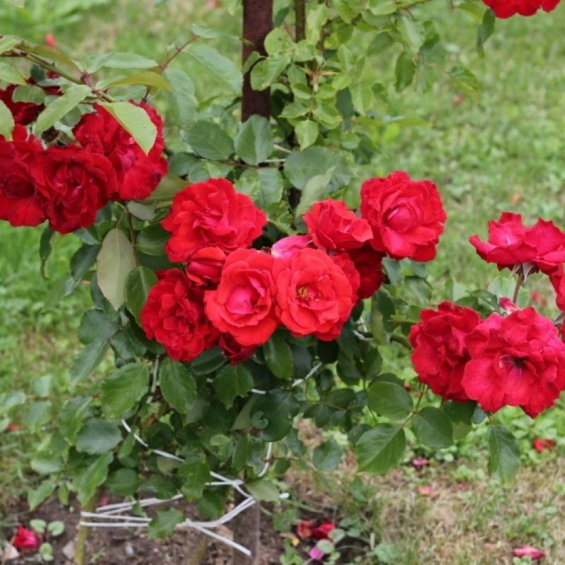 Розы Гримпант Делбард
