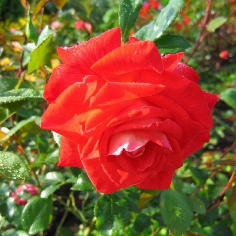 Розы Фаджа Лобби