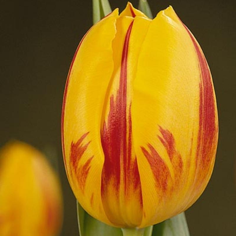 tulpen stripd bellona katalog sorten samen tulpen stripd bellona pflege vermehren und. Black Bedroom Furniture Sets. Home Design Ideas