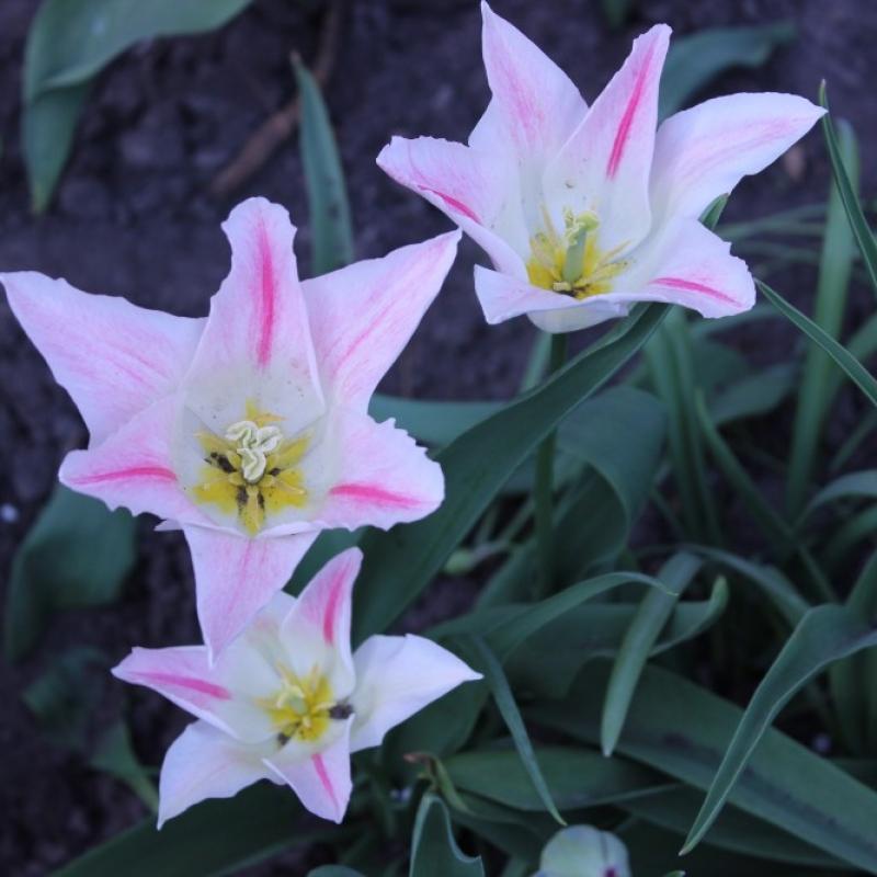Тюльпаны Холланд Чик