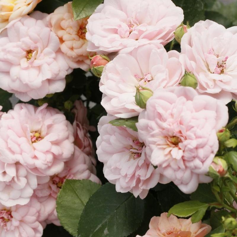 Розы Бордюр Накри