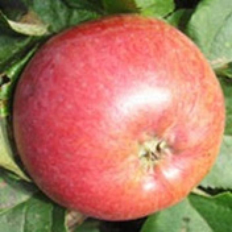 сорт яблок брызги шампанского фото