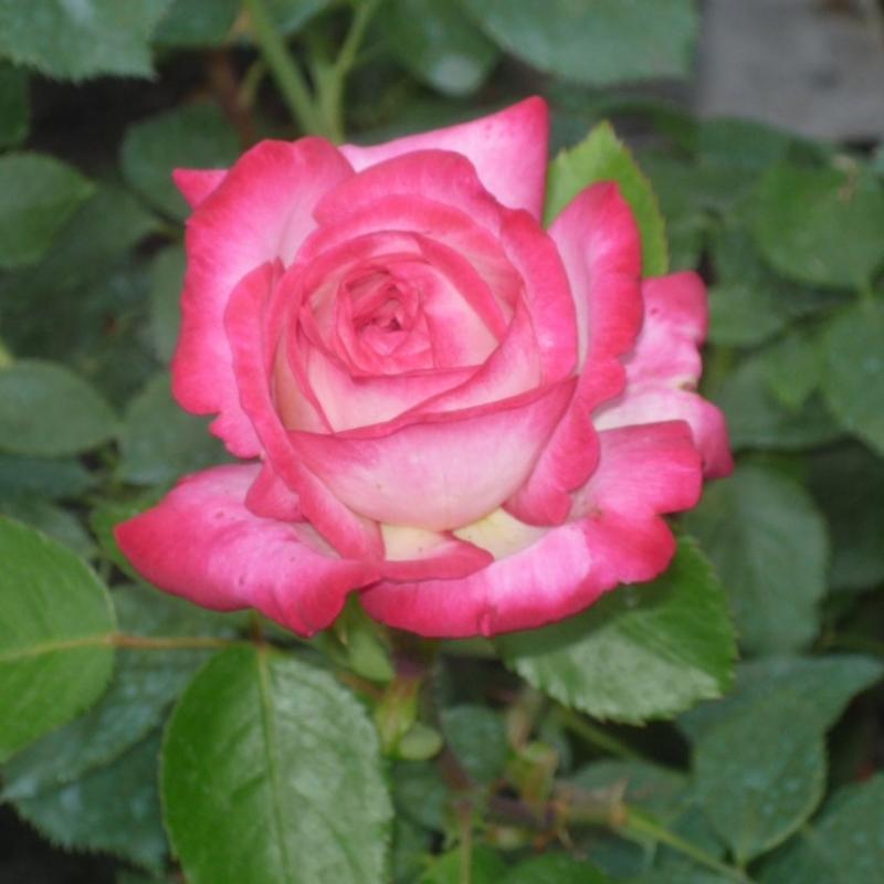 Роза хайматмелоди энциклопедия роз