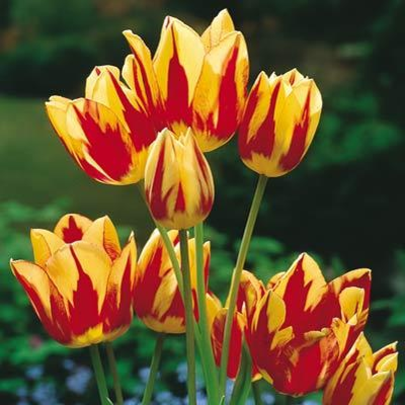 Тюльпаны Колор Спектакль