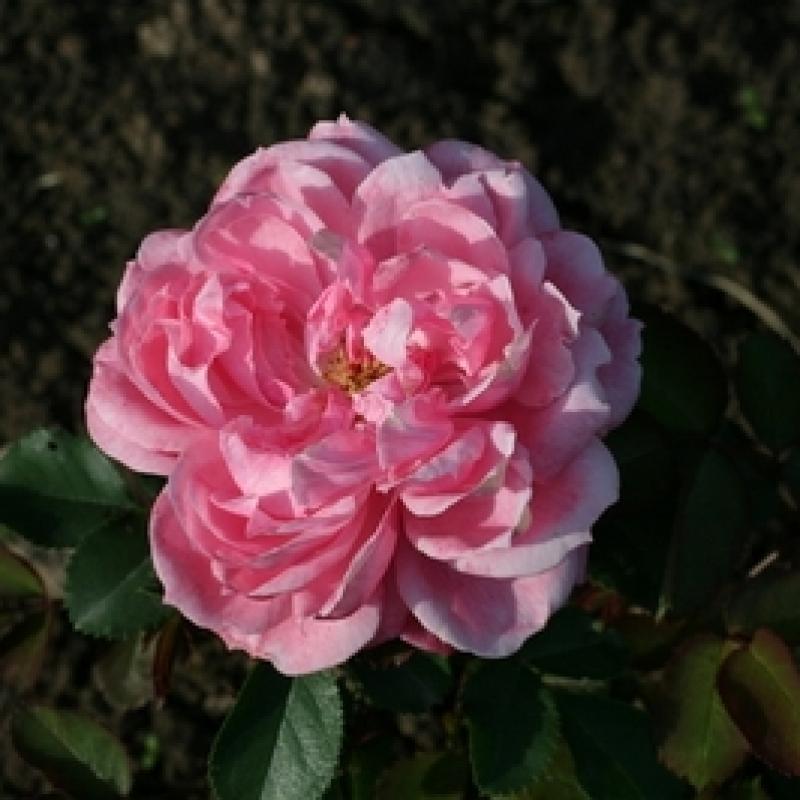 Розы Шоне Элиза