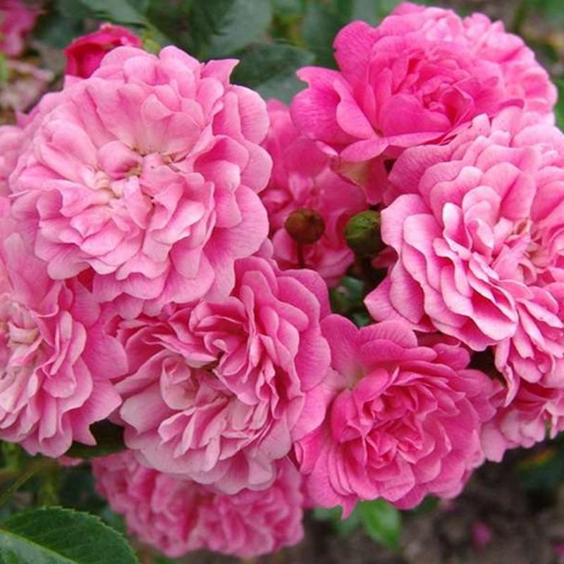 Розы Пепита