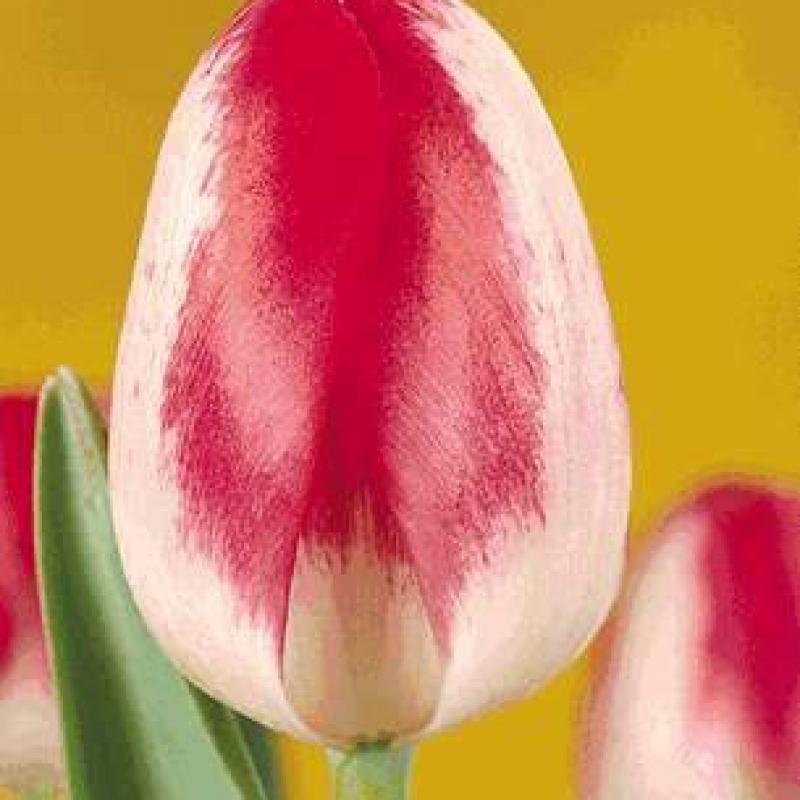 Тюльпаны Скандинавия