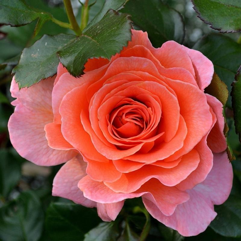 Розы Доктор Джо