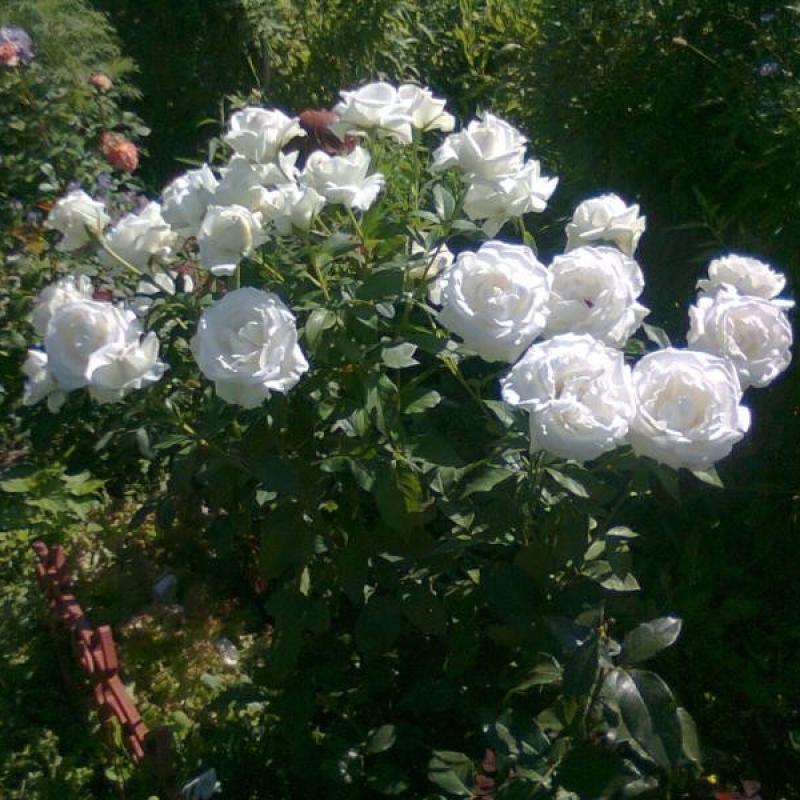 Розы Карен Бликсен