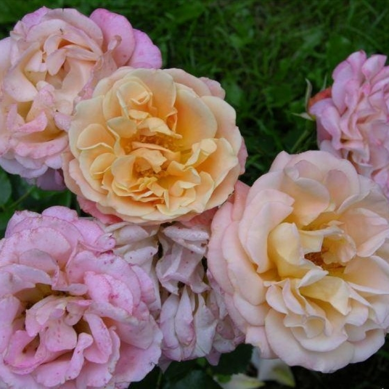 Розы Кубана