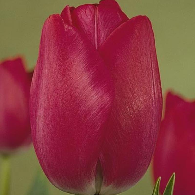 Тюльпаны Атиллас Рекорд