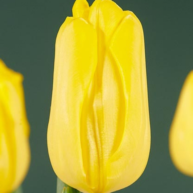 Тюльпаны Аграсс Голд
