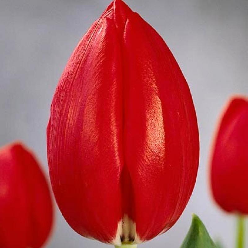 Тюльпаны Суперстар