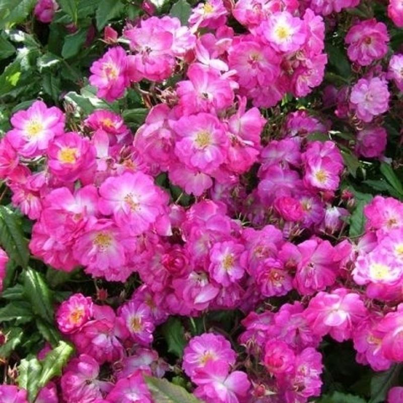 Розы Дентелле де Бруxеллес
