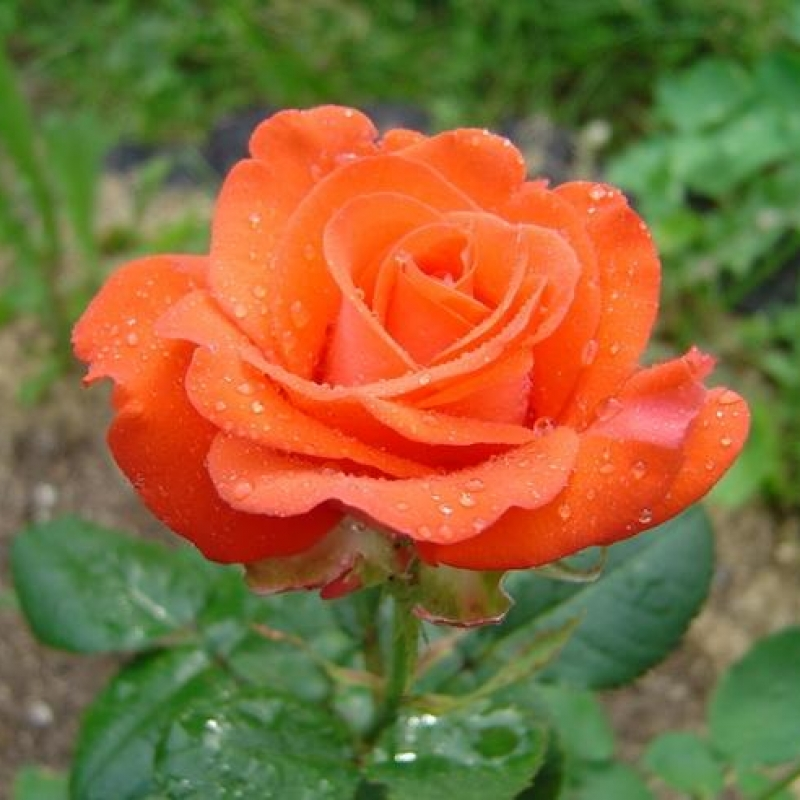 Розы Анкори