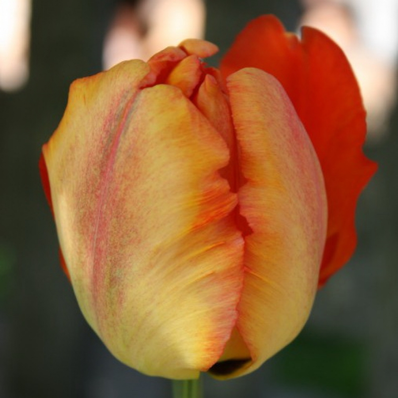 Тюльпаны Профессор Рентген