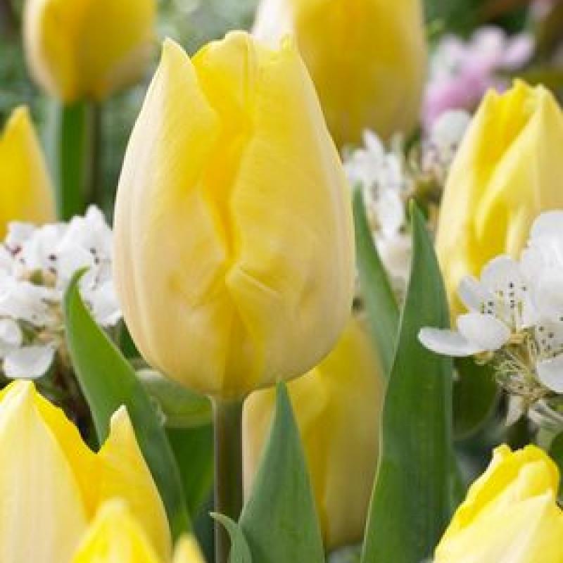 Тюльпаны Санни Принц