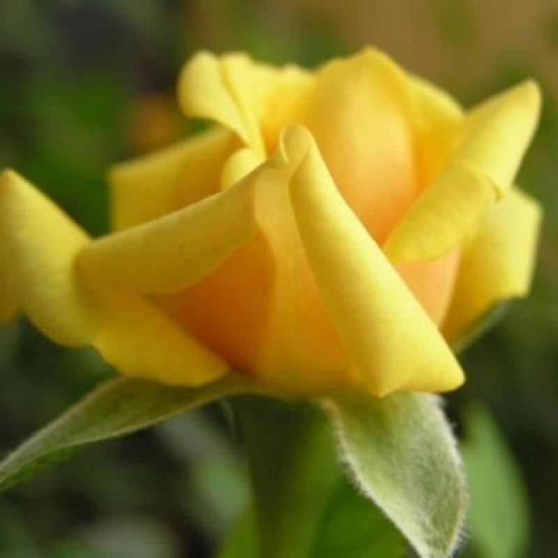 Розы Гарден Принцесс