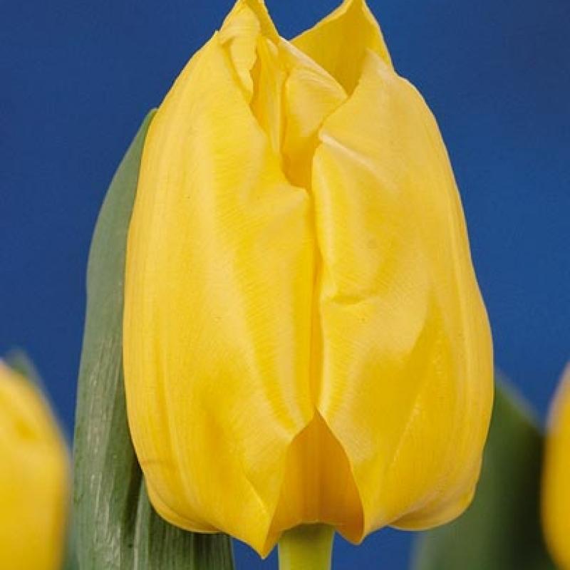 Тюльпаны Солаир