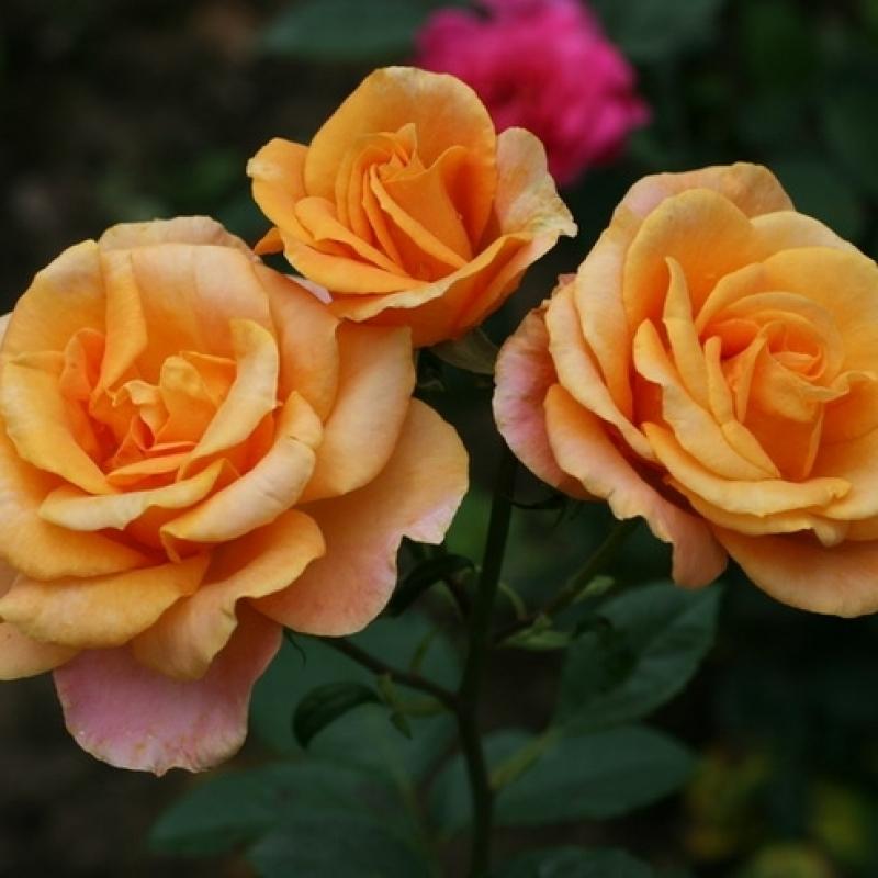 Розы Анне Хакнесс